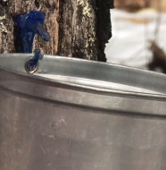 "Beyond the Kitchen ""Tapping Maple Trees"""