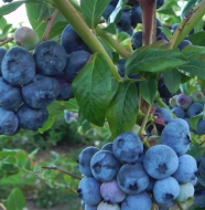 "Beyond the Kitchen - ""Libby and Son U-Picks Blueberries"""